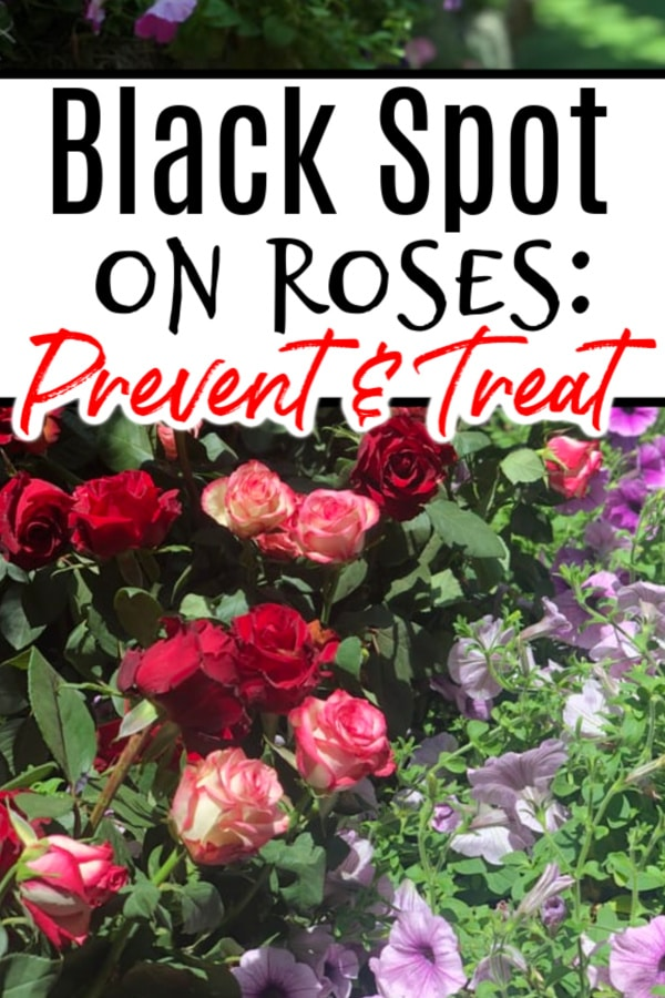 Seeing black spot on roses may not mean anything to you, but be sure to click through NOW to find out what it is and how to fix it before it wipes out your whole rose garden...