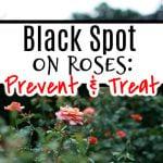 Black Spot On Roses_ Prevention & Treatment (3)