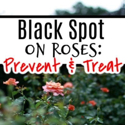Black Spot On Roses_ Prevention & Treatment (3)