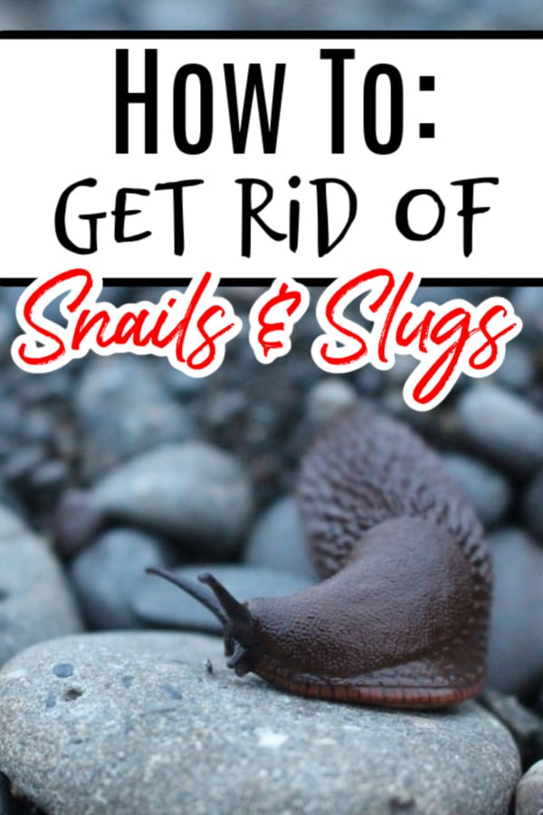 How To Get Rid Of Snails & Slugs