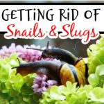 How To Get Rid Of Snails & Slugs (3)