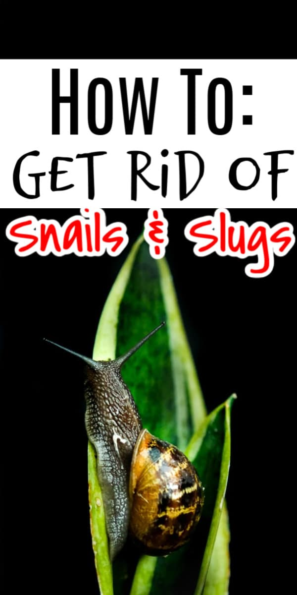 How to get rid of snails isn't hard, but knowing the answer WILL come in handy - mark my words.  Click through NOW to learn more....