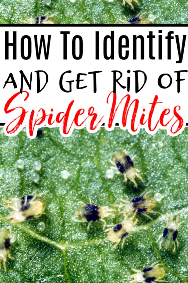 How To Get Rid Of Spider Mites On Plants.  Is this your question?  We have the answers, click through now to learn more....