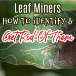 Leaf Miners:  How To Identify & Get Rid Of Them