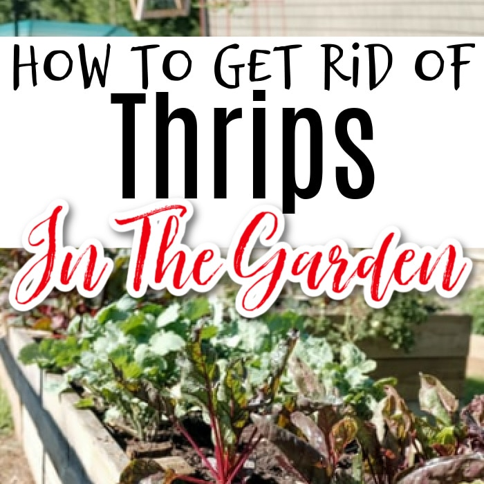 Thrips can wreak havoc in a garden if they get out of control. Click through NOW to see how to identify and control them without harmful chemicals...