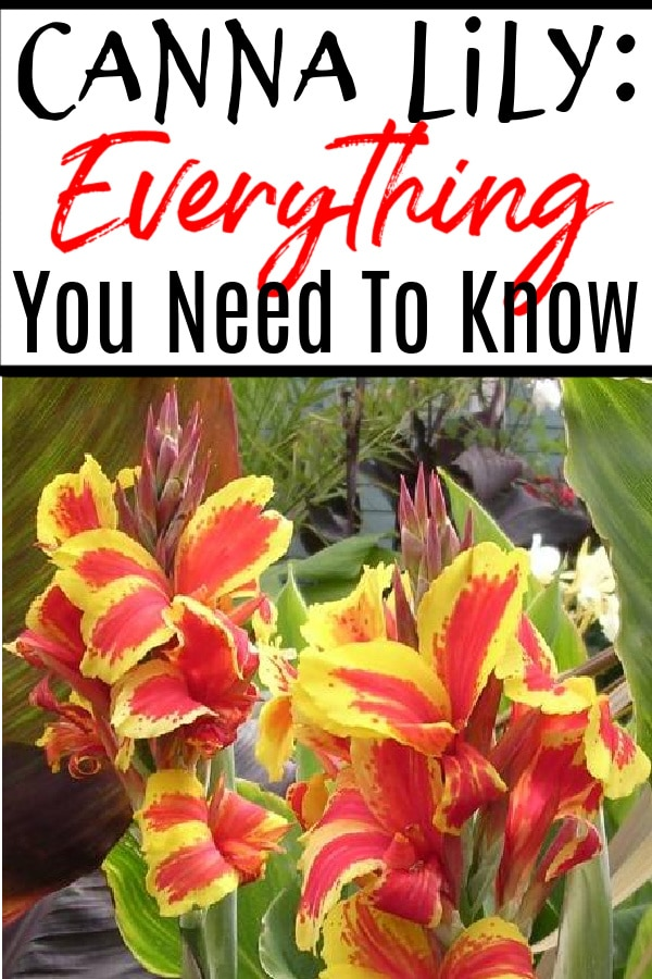 Canna Lily Everything You Need to Know