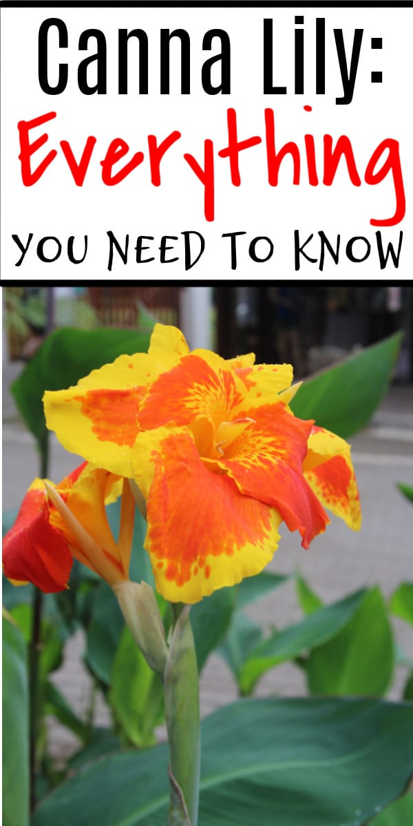 Have you ever grown Canna Lillies?  You should, they are beautiful and easy to grow.  Click through NOW to find out everything you need to know about the Canna Lily...