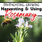Rosemary:  Propagating, Growing, Harvesting, & Uses