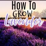 Lavender: Propagating, Growing, Harvesting, & Uses