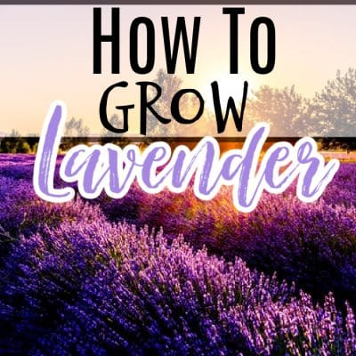 Lavender_ Propagating, Growing, Harvesting, & Uses (1)
