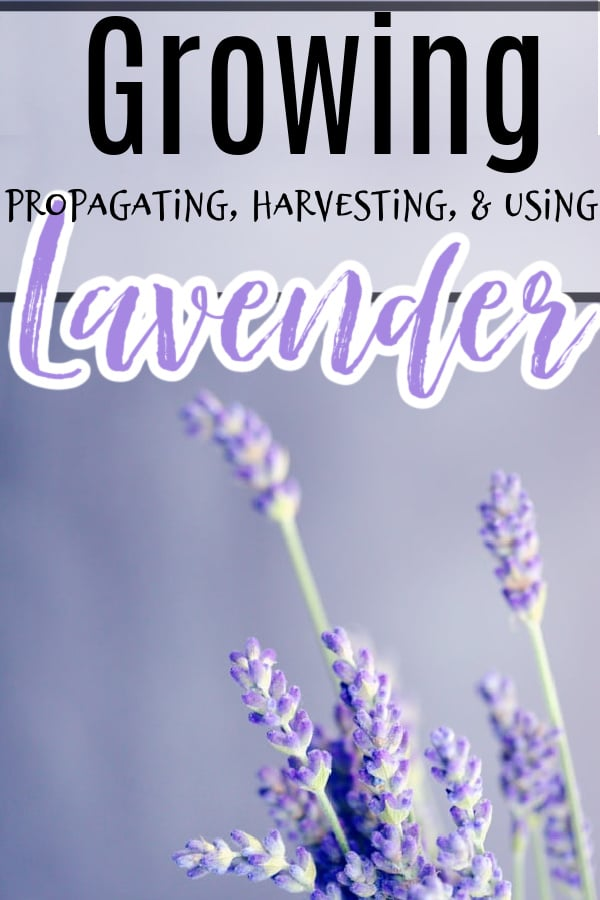 Lavender Propagating, Growing, Harvesting, & Uses