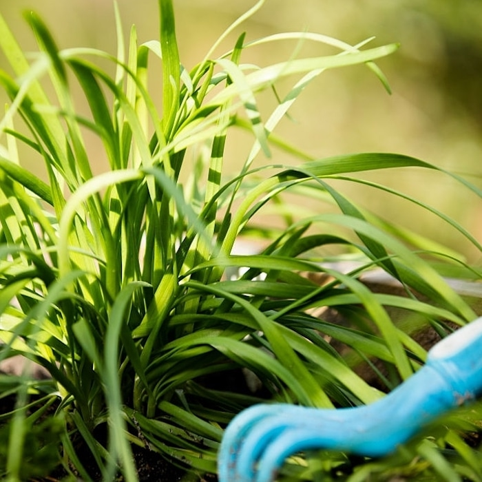 Want to grow garlic chives? They are so easy and they make beautiful blooms, as well.  Click through NOW to learn more...