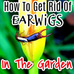 How To Get Rid Of Earwigs (1)