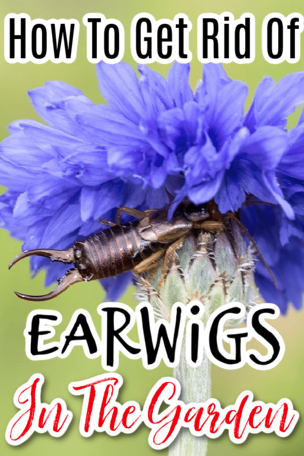 If you need to know what an earwig looks like, or how to get rid of earwigs in the garden,  you've come to the right place.  Click through NOW to find out how....