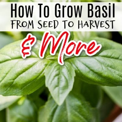 Basil Growing & Plant Care From Seed To Harvest & More