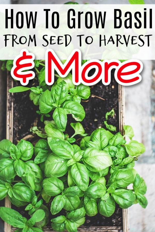 How To Grow Basil From Seed To Harvest And More