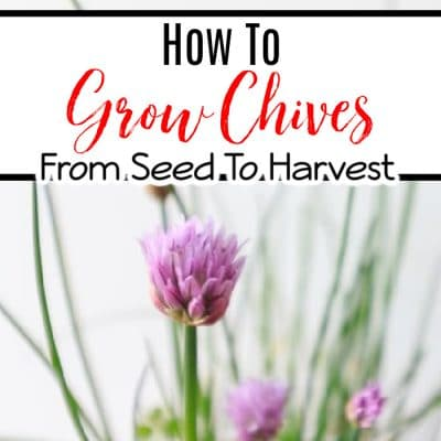 How To Grow Chives From Seed To Harvest