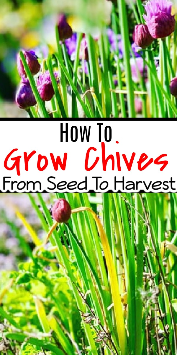 What looks great in a flower garden, doubles as an herb, & is easy to grow? Chives! Click through NOW to learn all about growing chives...