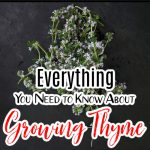 Growing Thyme: Everything You Need to Know