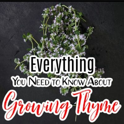 Growing Thyme_ Everything You Need to Know (1)