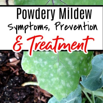 Powdery Mildew Symptoms Prevention And Treatment (1)