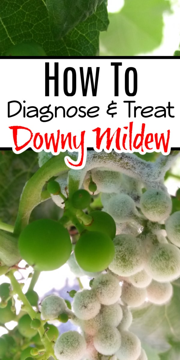 Pests & diseases in the garden are sometimes a mystery. Finding & treating Downy Mildew without chemicals is easier than you think. Click through NOW to learn how...