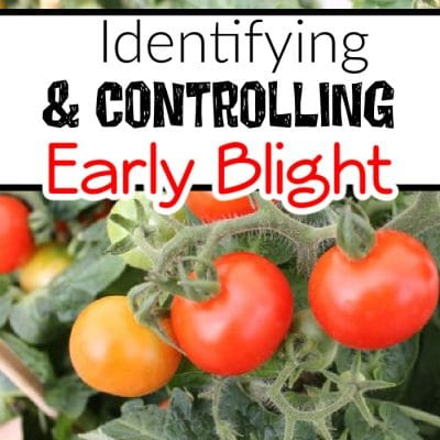 Early Blight: Identifying & Treating It In Tomatoes, Potatoes, & More