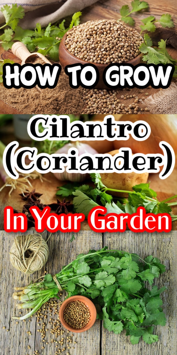 Do you like Cilantro and/or Coriander?  It's super easy to grow these 2 herbs in 1 at home.  Click through now to learn all about this versatile plant...