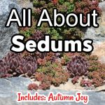 All About Sedums (1)