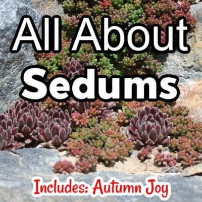 All About Sedums