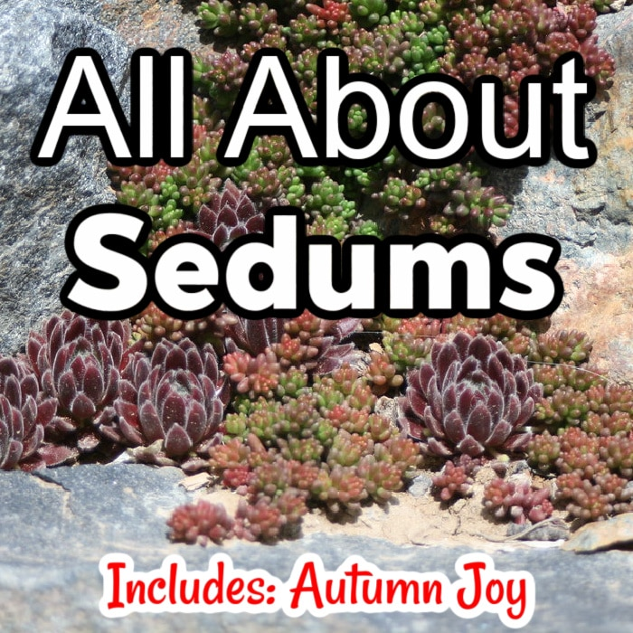 My favorite Sedum Autumn Joy is almost all weather tolerant.  Click through NOW to learn more about Sedums and if they would be a great fit for your garden...