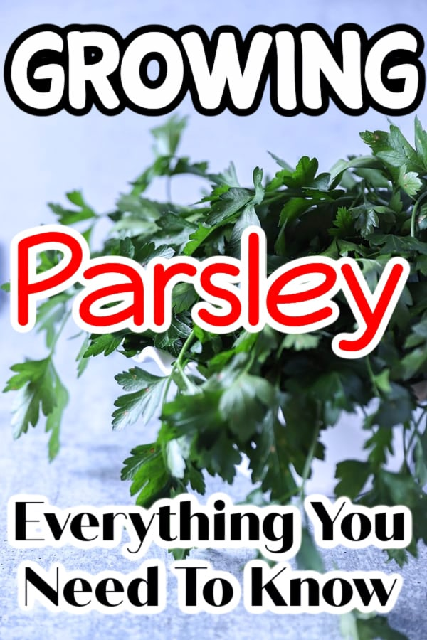 Whether you're growing parsley indoors or outdoors, growing parsley in pots, or growing parsley from seed or cuttings click through NOW to learn more about this versatile plant...