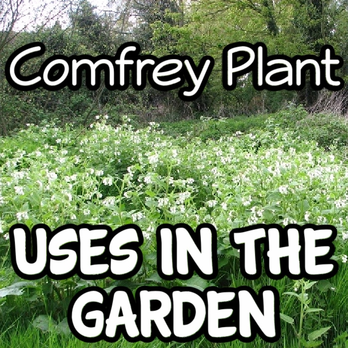 Have you ever grown comfrey?  Did you know all of the benefits?  It can help heal your soil and your body.  Click through NOW to learn more....