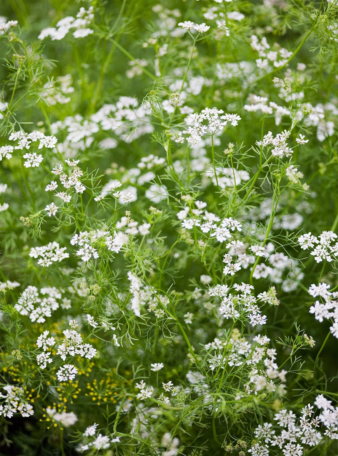 Pest control in the garden doesn't have to mean chemicals. Flowers & other plants for natural pest control are not only effective but easy on the eyes.