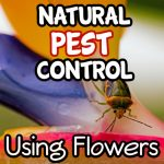Using Flowers As Natural Pest Control In The Garden (3)