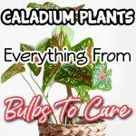 Caladium Plants - From Caladium Bulbs To Caladium Care (1)