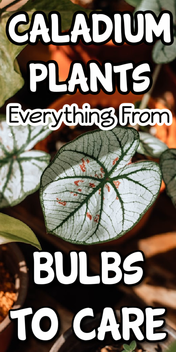 Caladium plants are stunning & they don't have flowers.  They are easy to grow.  Caladium bulbs are how they start. Click through NOW to learn all about Caladium care from bulbs to plants...