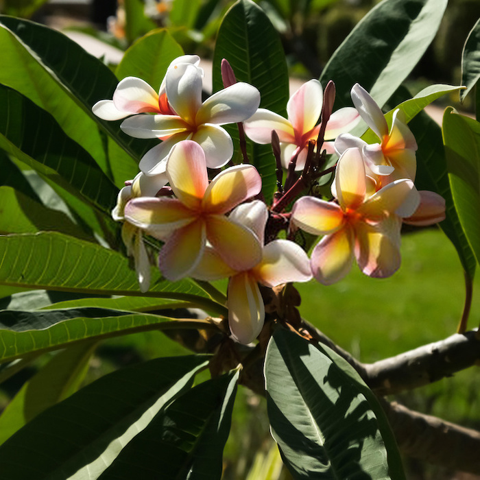 Plumeria is beautiful in any setting, the flowers are so vibrant it's just a gorgeous plant. Propagating Plumeria is easy, too.  Click through NOW to find out how...