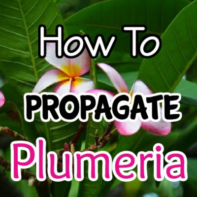 Propagating Plumeria – A How To Guide