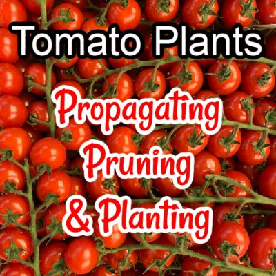 Tomato Plants – Propagating, Pruning, And Planting