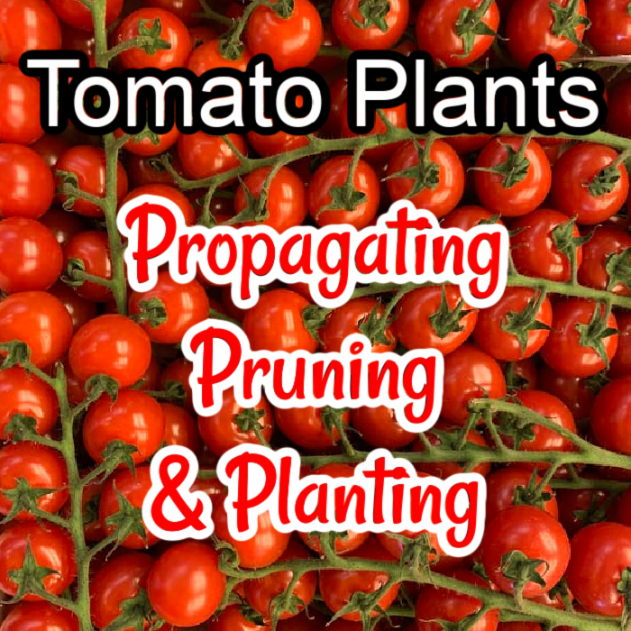 Tomato plants are the best plant for a beginner to start with due to their ease of growing. If you want to learn more about tomato plants click through NOW...